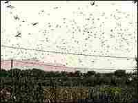 A swarm of desert locusts