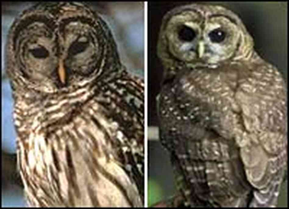 Barred Owl Vs Spotted ...