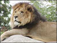 Chris is a 12-year-old, 400-pound lion
