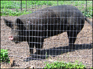 One of Whistling Train Farm's sows.
