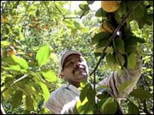 A migrant worker picks oranges at a grove March 29, 2006, in Bradenton, Fla.