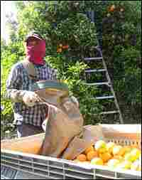 A field hand from Thailand harvests oranges in a grove in Visalia in Southern California.
