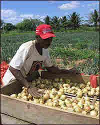 Onion farmers work on the Truka tribe's island