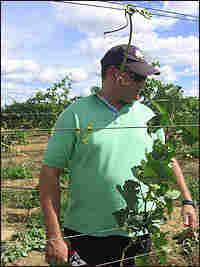Vineyard owner Joao Santos inspects the vines