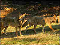 Two coyotes walk at the edge of scorched earth in Griffith Park, the nation's largest urban park.