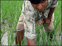 A farmer tends to a rice field.