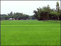 A bright green rice field in Bangladesh.