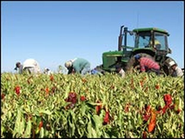 Workers harvest chili peppers on Ed Curry's farm in Pearce, Ariz.