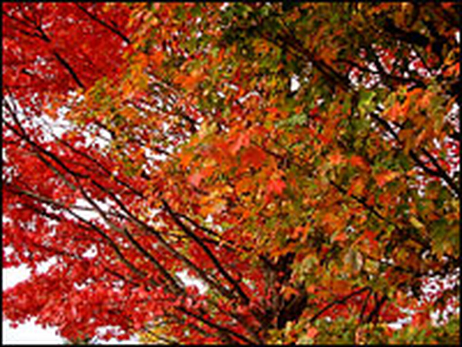 A sample from the fall palette of maple trees. While sugar maple colors range from yellow to peachy pink and all hues in between, the hot red seen here belongs to a red maple.
