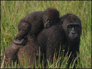 A group of western lowland gorillas in the Republic of Congo.
