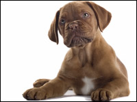 French bull mastiff puppy dog can feel jealousy, too.