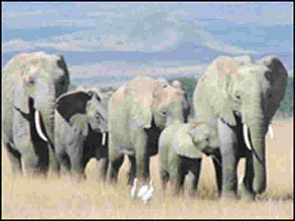 An adult female elephant, her adult daughter and their calves in a natural free-range population.
