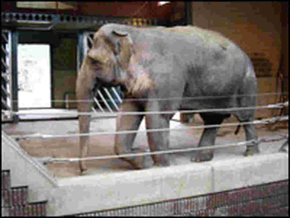 An Asian elephant in a European zoo.