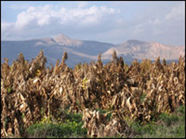 Frost and unusually cold winter weather have destroyed some 90 percent of field crops in southern Jordan Valley, likes those in this banana field in the West Bank city of al Ouja.