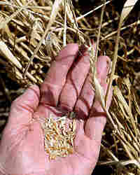 Wheat has become such a hot commodity that it has been stolen by the truckload in western Kansas.
