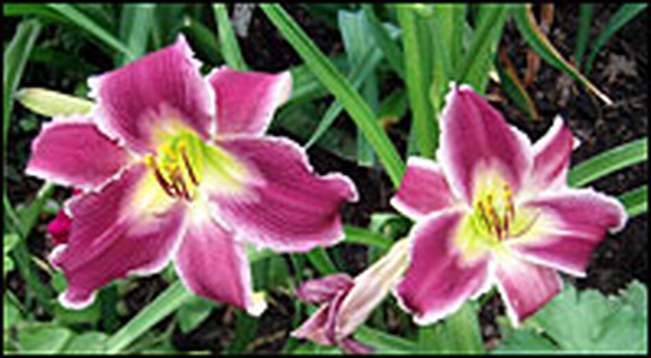 Lilies bloom in Tracy Pruitt's garden. Gardeners from across Texas are helping her move the garden to a new home after Pruitt was forced out from her home.