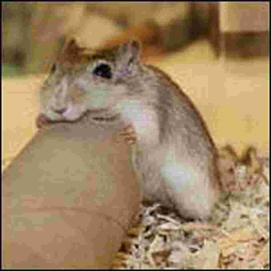 Gerbil gnawing on a cardboard tube
