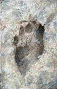 A 1.5 million-year-old fossil footprint found near Ileret, Kenya.
