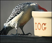 "Red-bellied woodpecker eating from ""dog"" bowl."