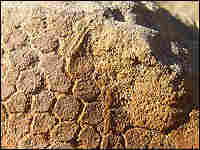 A close-up of the fossilized skin of a hadrosaur.