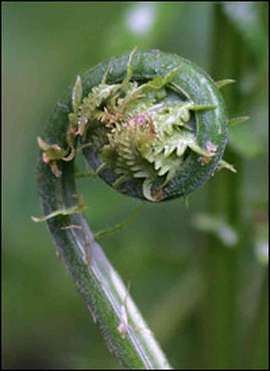 A fiddlehead fern in Vermont