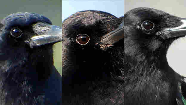 Crows Can Do This, But You Can't (16x9)