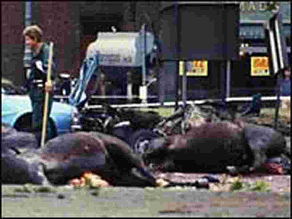 The carcasses of horses lie in the road in London's Hyde Park after an IRA car bombing July 1982