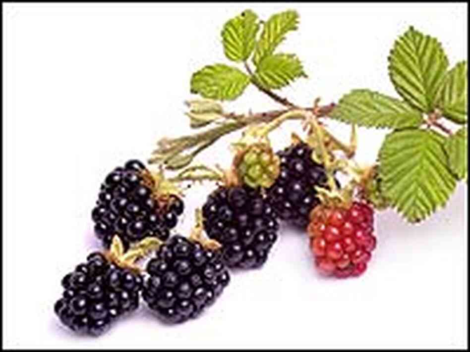 Blackberries, black, red and green