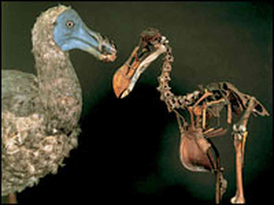 Dodo model and skeleton