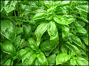 For commentator Jack Staub, basil is the taste of summer.
