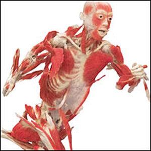 Skeletal Muscle Display