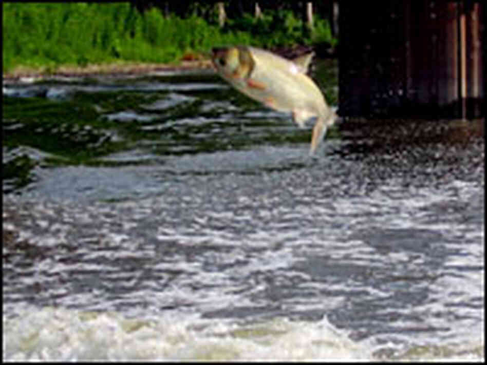 A skittish Silver Asian Carp leaps