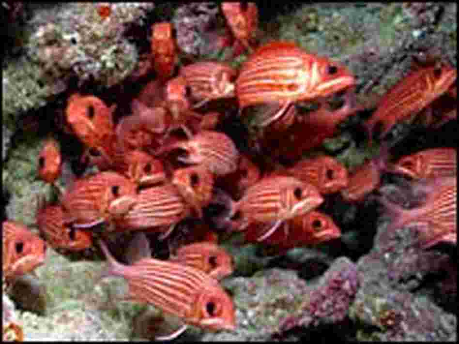 A school of Hawaiian squirrelfish