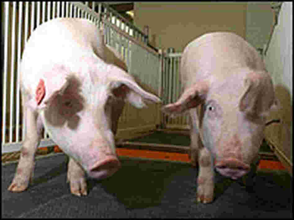 Two pigs that carry a gene to help their system create a healthier fat, known as  omega-3 fatty acid