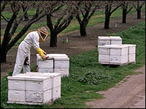 A beekeeper tends to bee hive boxes in Contra Costa County, Calif.