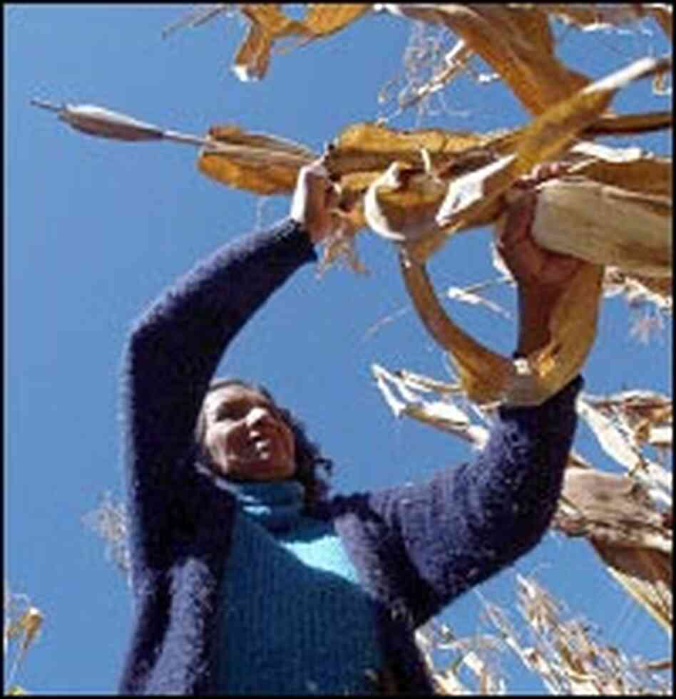 Cleotilde Jimenez Santiago, 57, reaches for a cornstalk in her field beside her home in Oaxaca