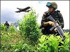 A Colombian soldier advances in a field of coca.
