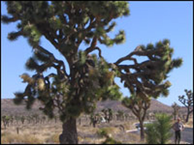 Joshua trees can grow 30 feet or taller. This is an especially large one, with plenty of branches covered with green leaves with spiny tips.