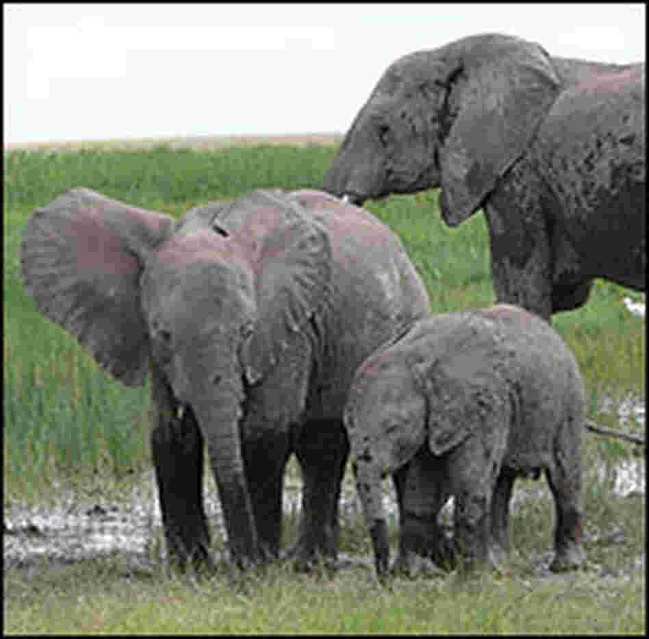 An elephant family walks in Amboseli National Park