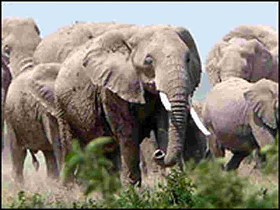 Elephant Herd, Credit: William Clark