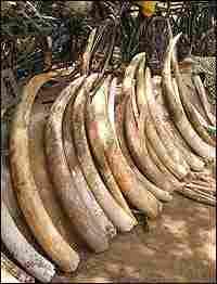 Seized Ivory, Credit: William Clark