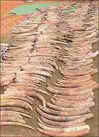 Seized Ivory, Credit: Benezeth Mutayoba