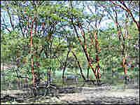 Acacia Senegal trees in Sudan