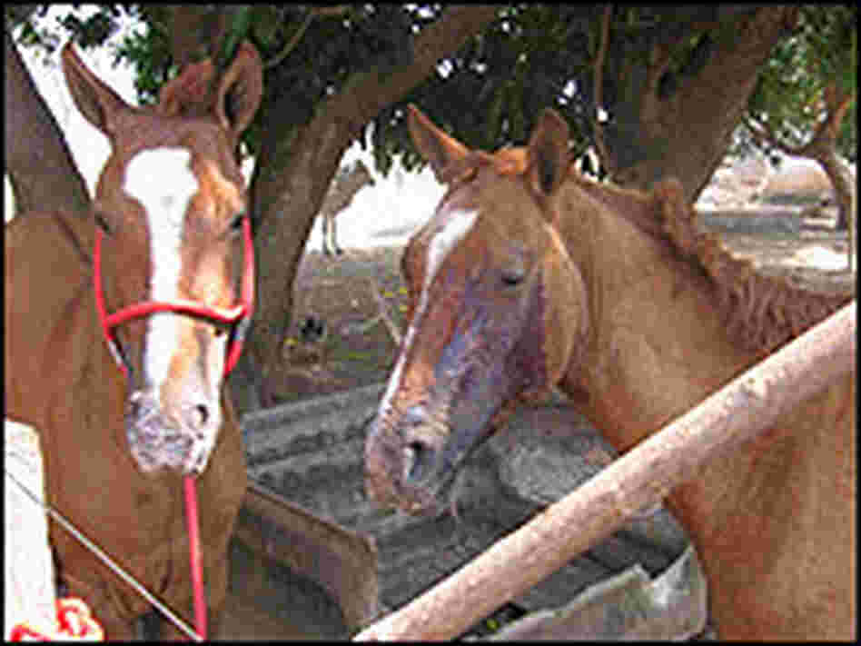 Horses burned by a ranch fire.