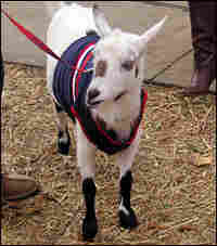 Lanie the Ole Miss Goat