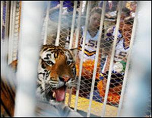 LSU mascot Mike VI, a Bengal/Siberian mixed tiger