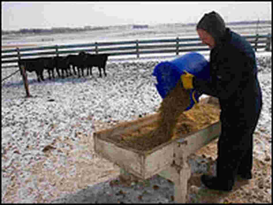 Craig Griffieon feeds cattle on his farm in Ankeny, Iowa.