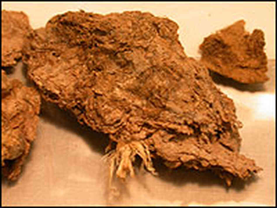 Fossilized human feces dating back to 12,300 B.C.
