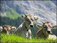Moo North: Cows Sense Earth's Magnetism : NPR