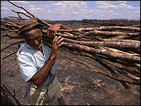 Farmer gathers sticks from burned farmland